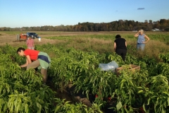 Gleaning Peppers at Davenport Farms 2014