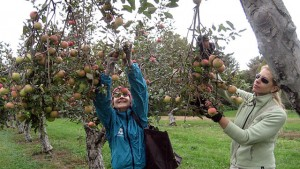 Volunteer gleaners Katherine &#038; Liz gleaning apples at Montebello Farm